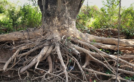 When Trees Attack: How Tree Roots Damage Your Foundation